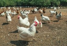 South African Chicken Farm