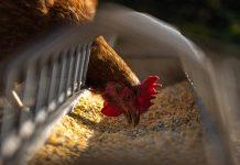 South African Chicken, Fresh Chicken, Frozen Chicken